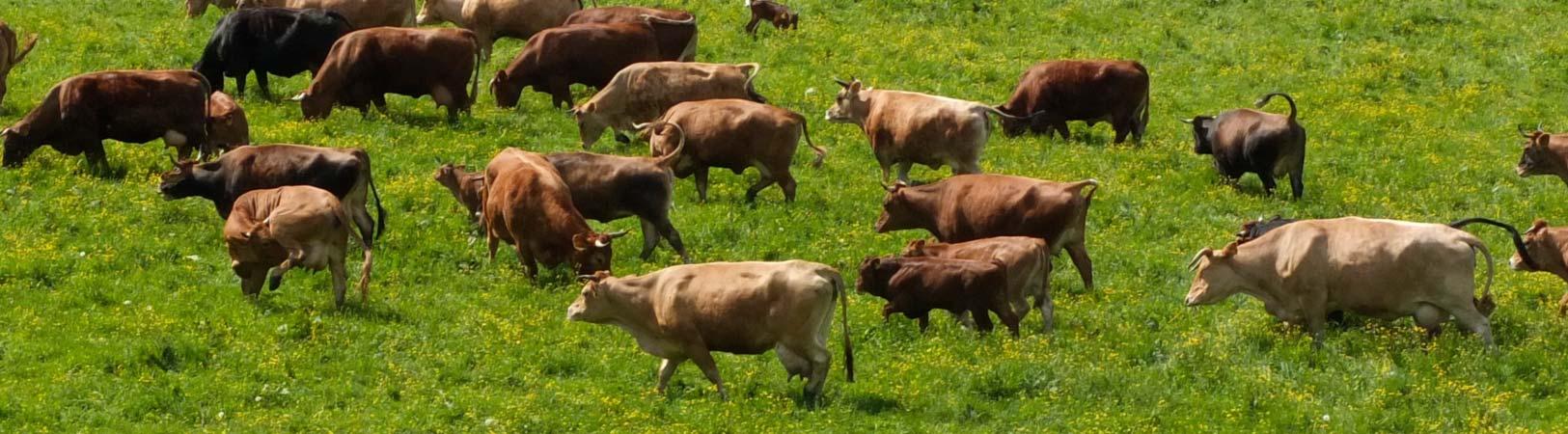 Pinzgauer auf der Weide im Frühjahr