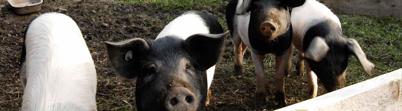 Schweine in Mooseurach