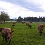 Rinder im Nebel