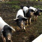 Schweine im Mooseurach 2